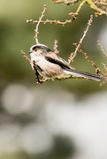 6th Mar 2017 - 2017 03 06 - Long Tailed Tit