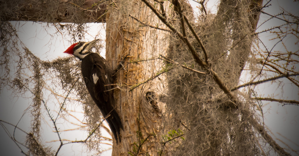 Pileated Woodpecker Hanging On! by rickster549