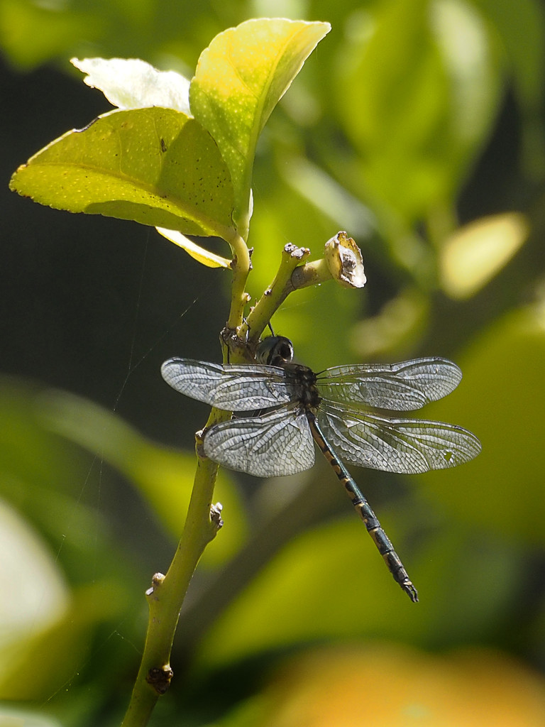 Getting the Hang of Photographing Dragonflies by ethelperry