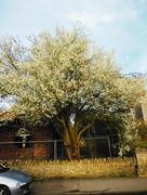 6th Mar 2017 - Hawthorn tree
