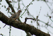 7th Mar 2017 - Bird in the tree