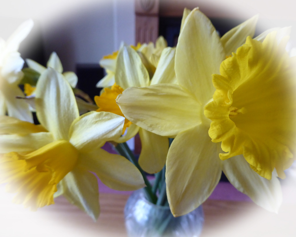 Daffodils by cmp