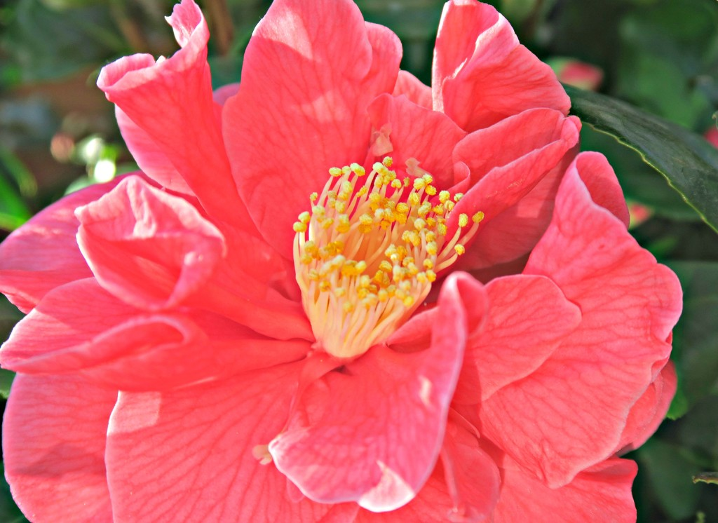 Camelia. by wendyfrost
