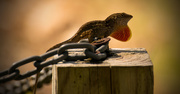 8th Mar 2017 - Anole on the Post Showing Off!