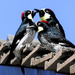 """The Sociable"" Acorn Woodpecker"