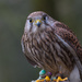 Common Kestrel by leonbuys83