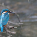 Male Kingfisher, mud on beak!! by padlock