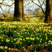 Daffodils in the woods near Newent. by snowy