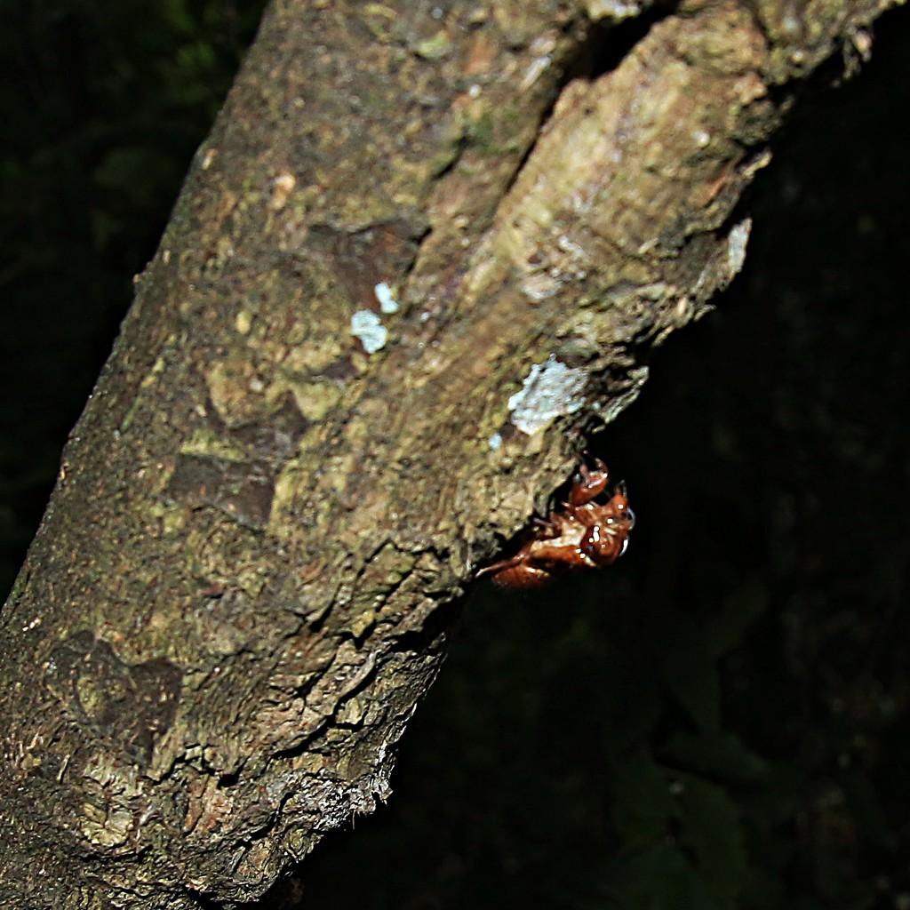 Cicada cast-off by kiwinanna