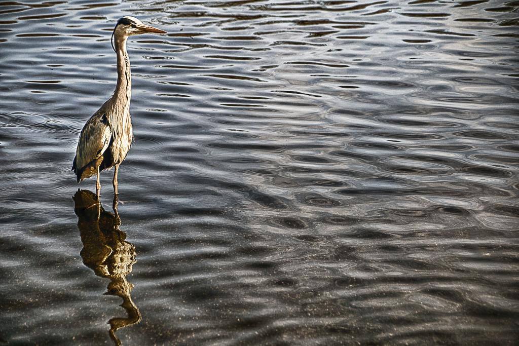 Heron - Posing! by megpicatilly