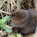 2017 03 11 - Water Vole by pixiemac