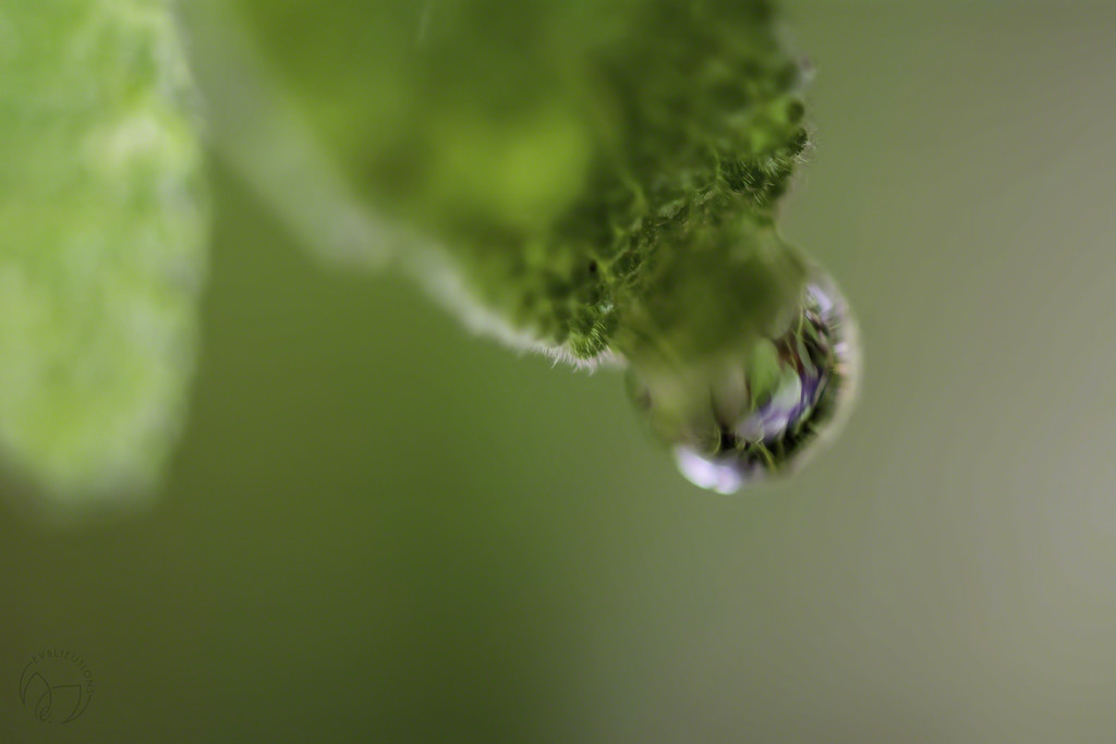 Sage Drop by evalieutionspics