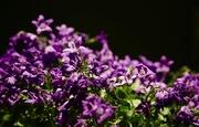 12th Mar 2017 - 71/365 - These violet delights have violet ends...