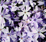 11th Mar 2017 - Light Purple Phlox