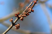 13th Mar 2017 - Tree buds soon to be leaves