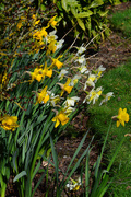11th Mar 2017 - A host of golden daffodils