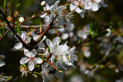 12th Mar 2017 - Spring blossom in the garden