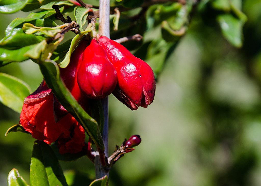 Pomegranates in the making by salza