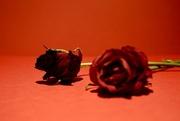 13th Mar 2017 - 72/365 - Hath not thy rose a thorn?