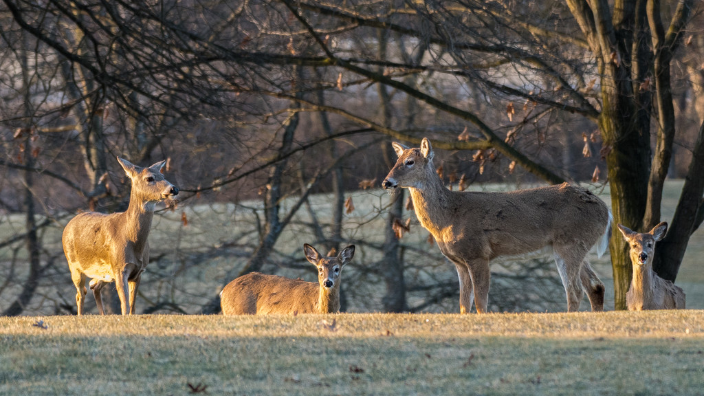 Deer at sunrise by dridsdale