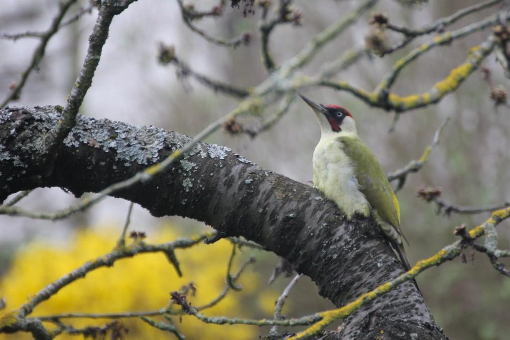 Green Woodpecker by jamibann