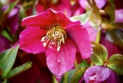 14th Mar 2017 - Rainy Hellebore
