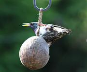 14th Mar 2017 - Bird on a Nut.