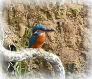 14th Mar 2017 - Today's kingfisher