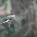 Male Kestrel with Worm by padlock