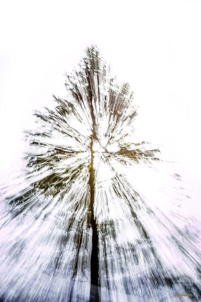 Pine Tree Shot #14 - Zoom Burst by skipt07