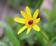 15th Mar 2017 - Spring Ladybird.