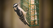 14th Mar 2017 - Downy Woodpecker, Going After the Suet!