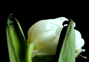 14th Mar 2017 - Tulip - From the Rear