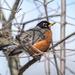 American Robin in a tree
