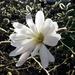 Magnolia Tree by cmp