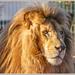 The King (White Lion)