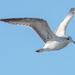 Gull in Flight Side View