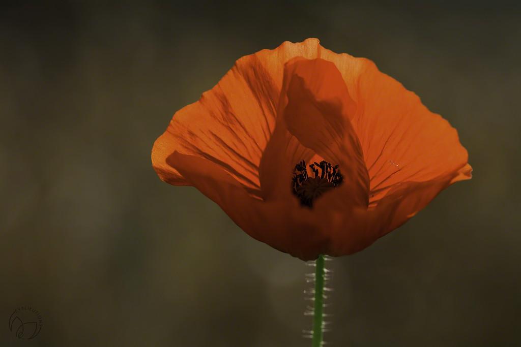 Backlit Poppy by evalieutionspics
