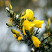 Gorse... or perhaps GORSE! by vignouse