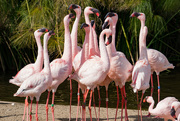 17th Mar 2017 - Flamingo Friday - 029