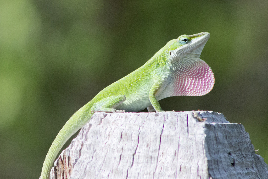 My First Lizard by gaylewood