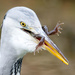Heron with Frog by padlock