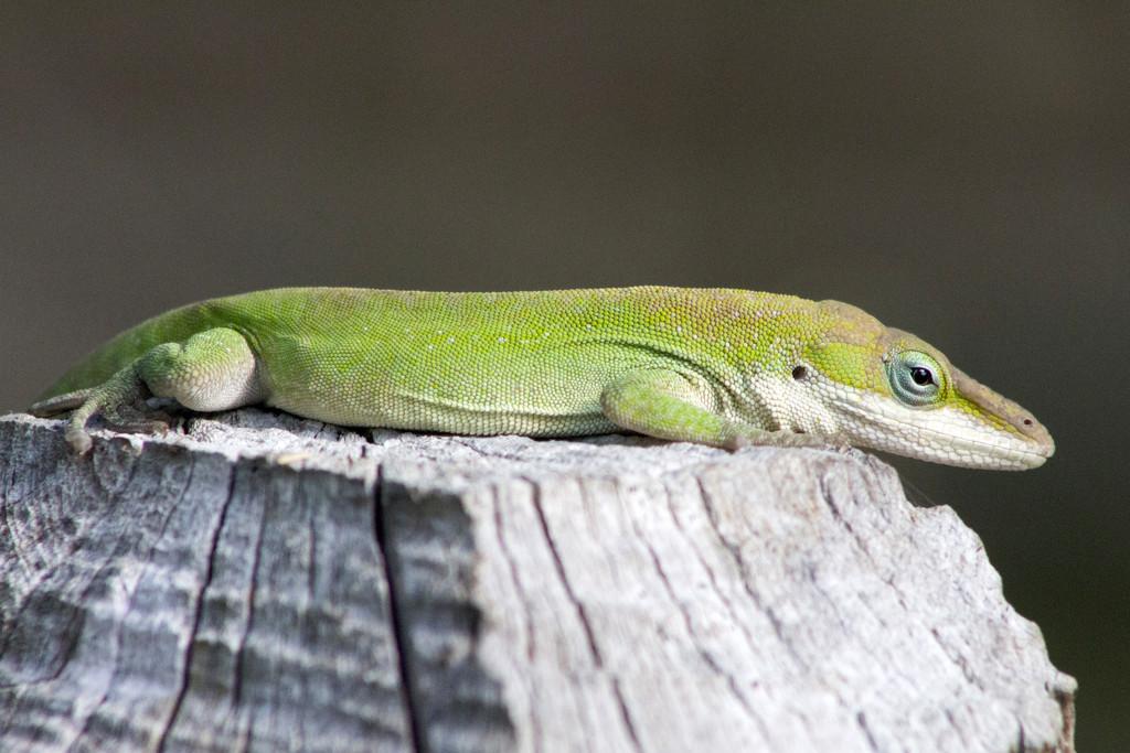 Lounging Lizard by gaylewood