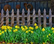 28th Feb 2017 - Daffodil Fence