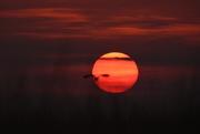 18th Mar 2017 - Northern Harrier, Smokey Kansas Sunset