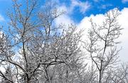 19th Mar 2017 - Pretty snow on tree