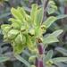 """Euphorbia """"Ascot Rainbow"""""""