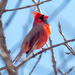 Northern Cardinal on a twig
