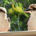 The Kookaburra Cafe is Open by terryliv