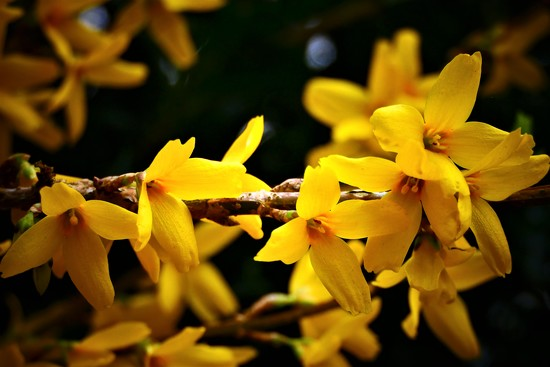 Forsythia by carole_sandford